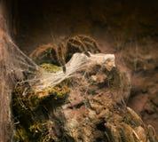 Конец вверх на тарантуле Grammostola Rosea чилийца розовом стоковые изображения rf