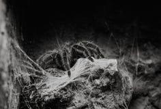 Конец вверх на тарантуле Grammostola Rosea чилийца розовом стоковые фото