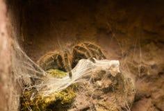 Конец вверх на тарантуле Grammostola Rosea чилийца розовом Стоковые Фотографии RF