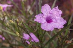 Конец-вверх на фиолетовом цветке воздушного шара в саде Стоковые Изображения