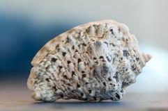 Конец-вверх на seashell Стоковые Изображения RF
