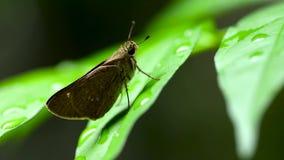 Конец-вверх небольшой бабочки на зеленых лист с капельками воды после дождя акции видеоматериалы
