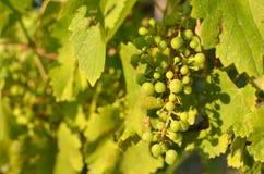 Конец-вверх незрелых групп виноградины Стоковые Фото