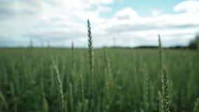 Конец-вверх незрелых ушей пшеницы на зеленых полях