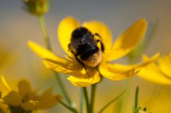 Конец-вверх нектара шмеля выпивая от желтого wildflower на луге стоковые фото