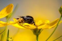 Конец-вверх нектара шмеля выпивая от желтого wildflower на луге стоковое изображение rf