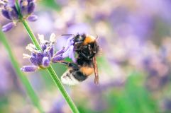 Конец-вверх нектара шмеля выпивая от wildflower стоковое фото rf