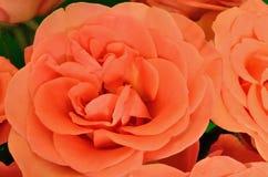 Померанцовые розы в конце-вверх стоковое изображение rf