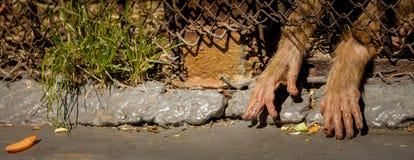 Конец-вверх обезьяны лапок Стоковое фото RF