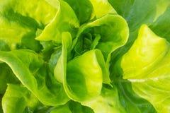Конец-вверх овоща салата Butterhead Стоковая Фотография