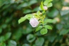 Конец-вверх одиночной малой белой розы Стоковые Изображения