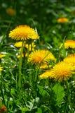 Конец-вверх одуванчика цветя Стоковое фото RF
