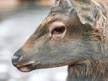 Конец-вверх оленей, унылая лань, конец-вверх Животные в зоопарке стоковые фото