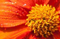 Конец-вверх оранжевых цветков в саде/падениях макроса воды на оранжевом цветке в лесе Стоковые Изображения