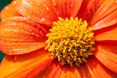 Конец-вверх оранжевых цветков в саде/падениях макроса воды на оранжевом цветке в лесе Стоковая Фотография