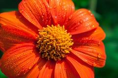 Конец-вверх оранжевых цветков в саде/падениях макроса воды на оранжевом цветке в лесе Стоковые Фото