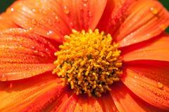 Конец-вверх оранжевых цветков в саде/падениях макроса воды на оранжевом цветке в лесе Стоковое фото RF