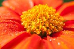 Конец-вверх оранжевых цветков в саде/падениях макроса воды на оранжевом цветке в лесе Стоковое Фото