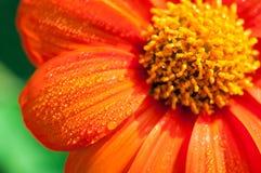 Конец-вверх оранжевых цветков в саде/падениях макроса воды на оранжевом цветке в лесе Стоковые Фотографии RF