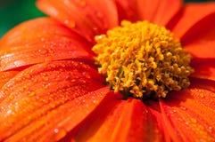 Конец-вверх оранжевых цветков в саде/падениях макроса воды на оранжевом цветке в лесе Стоковое Изображение RF