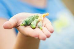 Конец-вверх органических малых огурцов держал в руке Стоковая Фотография