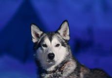 Конец-вверх осиплой собаки сидя белого света наблюдает на фоне приполюсной ночи зимы на Шпицбергене Свальбарде стоковые изображения rf