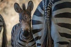 Конец-вверх осленка зебры Grevy в тенях Стоковая Фотография