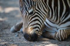 Конец-вверх осленка зебры Grevy лежа вниз Стоковое Изображение