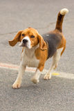 Конец-вверх охотничьей собаки Стоковая Фотография