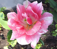 Конец-вверх одиночного розового тюльпана в саде весны Стоковая Фотография