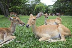 Конец вверх одичалых оленей в открытой пользе зоопарка на жизнь животных одичалая в z Стоковые Изображения