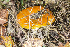 Конец-вверх одного красного гриба среди зеленой травы в muscaria мухомора леса осени, известный как пластинчатый гриб мухы или, к Стоковые Фотографии RF