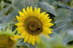 Конец-вверх одного солнцецвета цветения или annuus подсолнечника растя в поле солнцецвета Стоковые Фотографии RF
