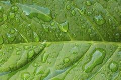 Конец-вверх падений росы на живых зеленых лист Стоковая Фотография