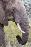 Конец-вверх пакостных бивня, уха, глаза и носа слона Стоковое Изображение RF