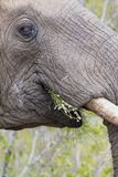 Конец-вверх пакостных бивня, уха, глаза и носа слона Стоковые Изображения RF