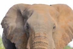 Конец-вверх пакостных уха, глаза и носа слона Стоковая Фотография