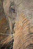 Конец-вверх пакостных уха, глаза и носа слона Стоковые Фотографии RF
