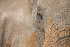 Конец-вверх пакостных уха, глаза и носа слона Стоковое Изображение