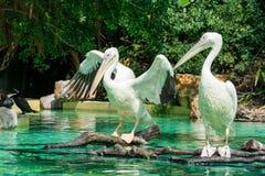 Конец-вверх пары больших птиц белого пеликана в пруде Стоковое Изображение