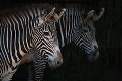 Конец-вверх пар голов зебры Grevy Стоковая Фотография