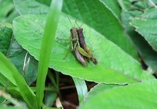 Конец-вверх пар ` s кузнечика делая влюбленность на ярких ых-зелен лист в тропическом тропическом лесе Стоковое Фото
