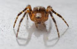 Конец-вверх паука Стоковые Изображения RF