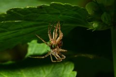 Конец-вверх паука Solpuga кавказца перелиняя под крапивой лист стоковые фото