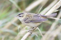 Конец-вверх певчей птицы осоки/schoenobaenus настоящей камышевки Стоковые Изображения