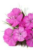 Конец-вверх пинка barbatus гвоздики изолированный цветками вертикально стоковые изображения rf