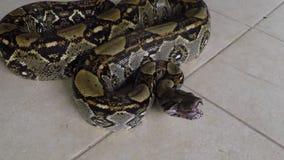 Конец-вверх | питон constrictor горжетки, Коста-Рика, видеоматериал