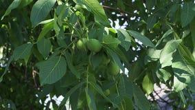 Конец-вверх плода и листьев грецкого ореха пошатывая в ветре акции видеоматериалы