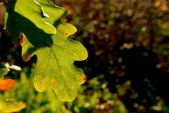 Конец-вверх подсвеченных лист дуба показывает пятна цвета падения Стоковые Изображения RF