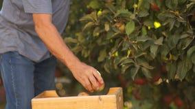 Конец-вверх, половинное тело, руки Пожилой фермер комплектует красные зрелые яблоки от дерева и кладет их в деревянную коробку акции видеоматериалы